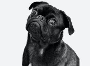 Best Dog Insurance for Pugs