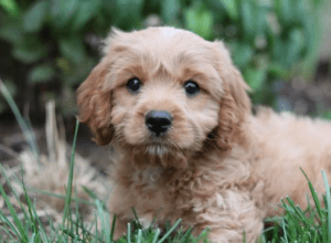 Best Dog Insurance for the Cavapoo