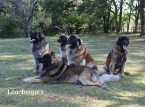 Best Dog Insurance for Leonbergers