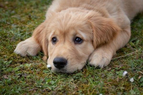 Best Dog Insurance for Golden Retrievers