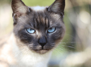 Who offers the best Siamese Cat Insurance?