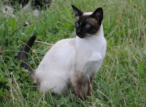 Best Siamese Cat Insurance
