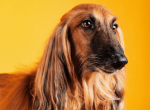 The Afghan Hound Dog Insurance Review