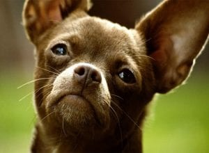 Selecting the right pet insurance for your Chihuahua