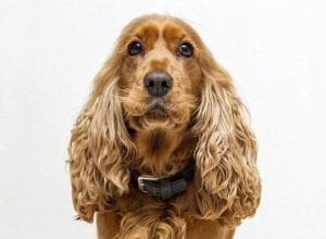 How to buy pet insurance for a Cocker Spaniel
