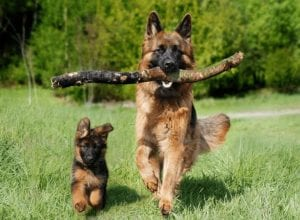 A guide to buying pet Insurance for your German Shepherd