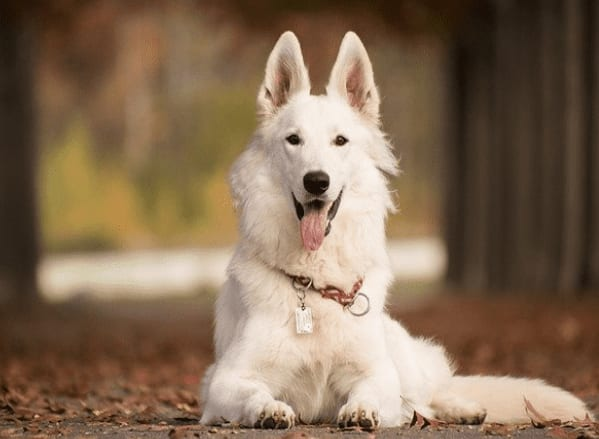 How much does pet insurance cost for a German Shepherd?