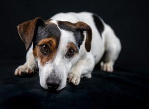 Jack Russell Dog Insurance – Compare and Buy