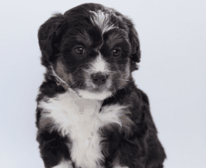 The Bernedoodle Dog Insurance Review
