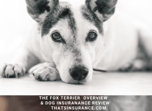 The Best Fox Terrier overview and Dog Insurance Review