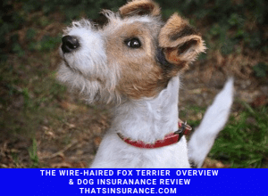 Best Wire Haired Fox Terrier Dog Insurance Review